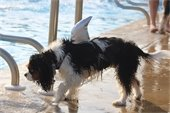 Dog near the pool with a shark fin costume on.